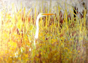 16 Great White Egret in freshwater marsh copy